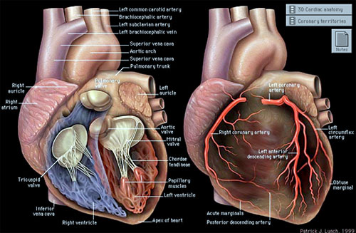 Kalp Rahatsızlıkları Belirtileri