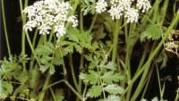 Bitkiler Karaciğerinizi  Bozabilir!