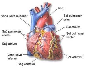 Kalp ve Dolaşım Sistemi Nedir? Nasıl Çalışır?