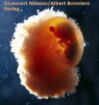 embriyo