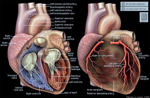 Korener Kalp Hastalıkları